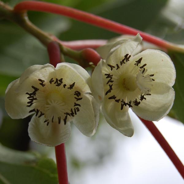 actinidia arguta samičí květ
