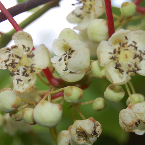 actinidia arguta samčí květ