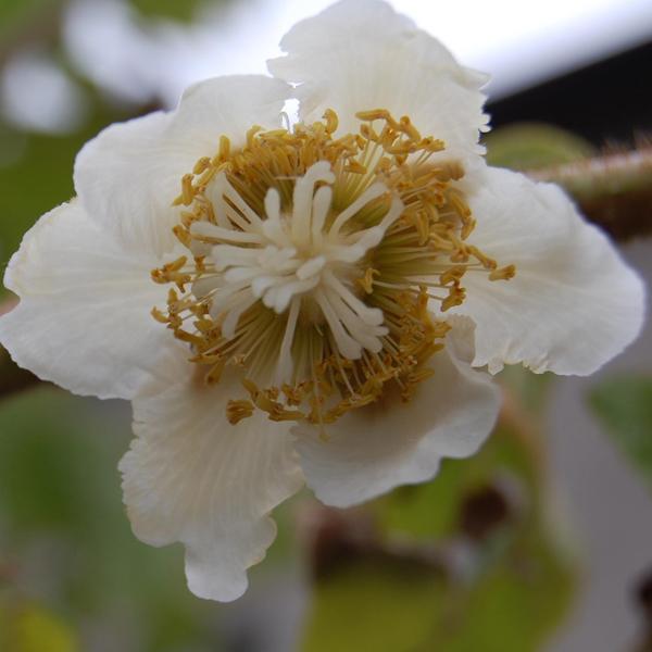Actinidia chinensis samičí květ