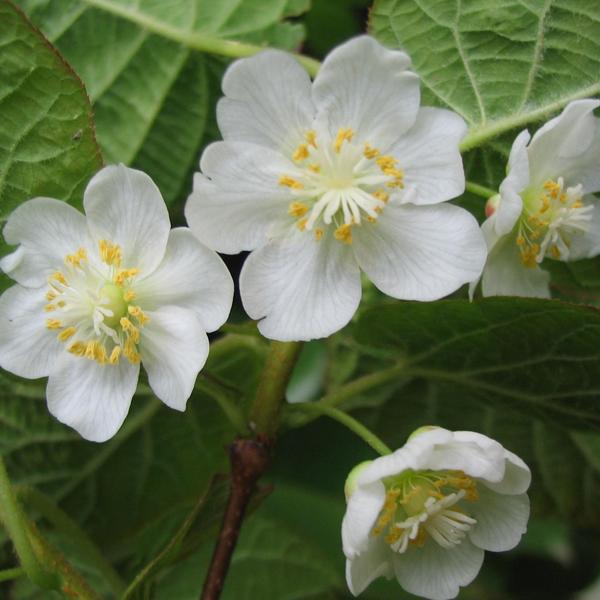 actinidia kolomikta samičí květ