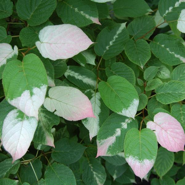 a.kolomikta samčí rostlina vybarvení listů v době odkvětu