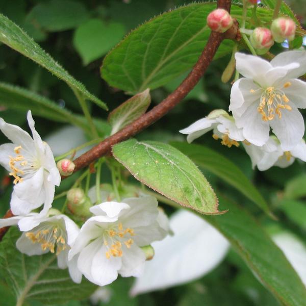 actinidia kolomikta samčí květ