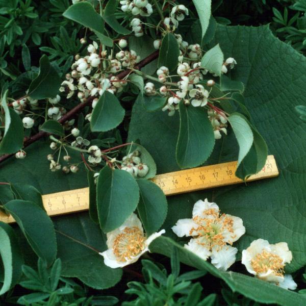 porovnání velikosti listů a květů A.arguta a a.chinensis