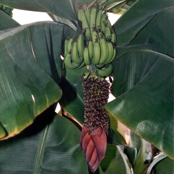 bananovnik1