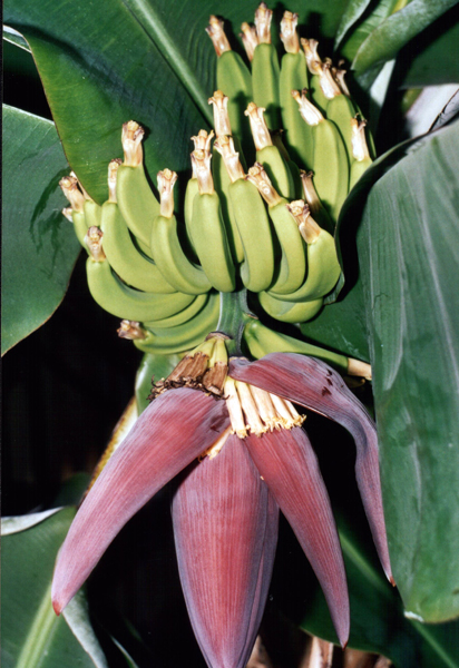 bananovnik2