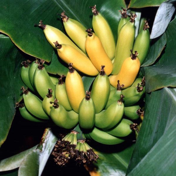 bananovnik4