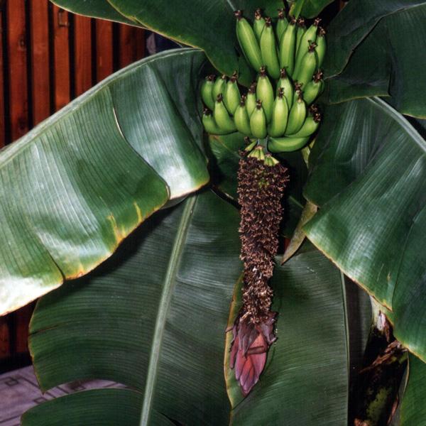 bananovnik6