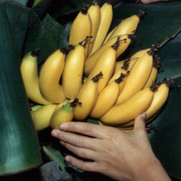 banany_marek