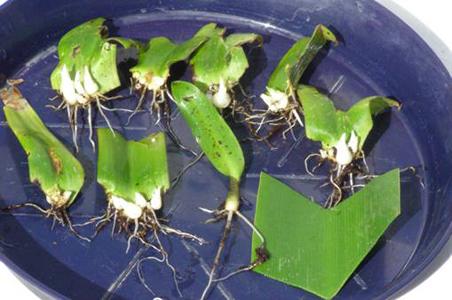 Řízky po 90 dnech a ukázka čerstvě upraveného listového řízku odrůdy Bicolor.