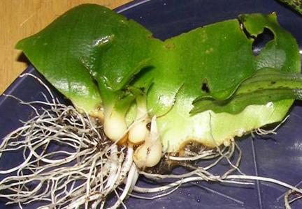 Detail nárůstu cibulek po 6 měsících u odrůdy Montana.