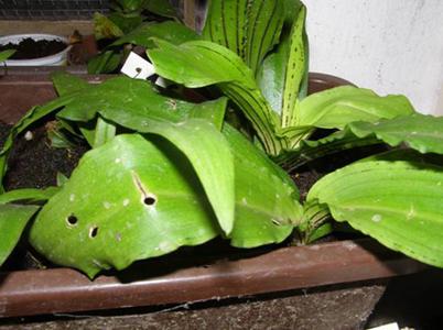 Kvalitně zakořeněné řízky odrůdy Punctata